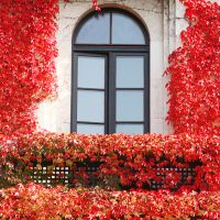 Fassadenbegrünung mit wildem Wein
