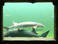 Ein Fenster in den Teich bietet aussergewöhnliche Einblicke unter Wasser