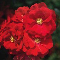 Naturagart shop teichrand rosen rosen pflanzen online kaufen - Kindersicherung gartenteich ...