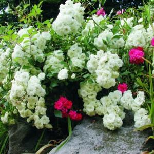Rosen von NaturaGart