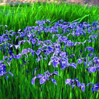 Teichpflanzen von NaturaGart
