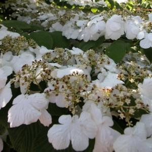 Blütensträucher von NaturaGart