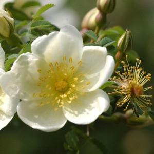 14039-rose-duenen-rosa-pimpinellifolia-gs-1