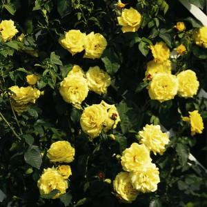 14777-kletterrose-goldstern-tan-1