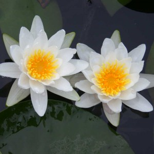 15054-naturagart-pflanzen-seerose-albida-1