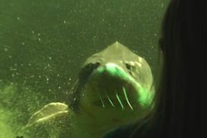 Stör im Aquarium