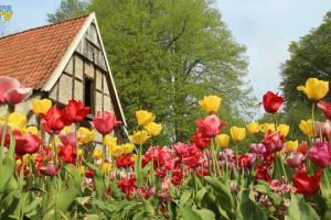 Tulpenblüten vor einem Fachwerkgebäude