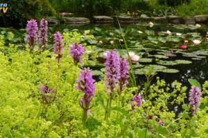 Sommerblüten am Teichrand