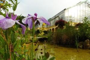Teichrandblumen vor Gewächshaus
