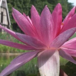 Seerosenblüte vor Teich-Hintergrund