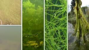 Algen im Teichwasser