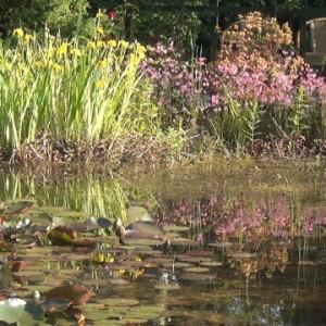 Teich mit Seerosenblättern und bewachsenem Ufer