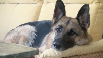 Schäferhund auf einem Sofa
