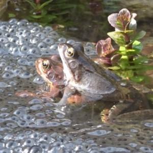 Frösche beim ablaichen in einem Teich von NaturaGart