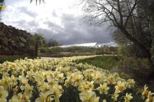 Großes Blumenbeet mit Narzissen
