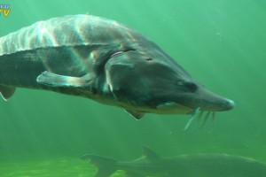 Großer Stör im NaturaGart Unterwasserpark