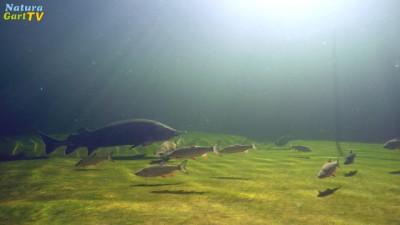 Fische schwimmen nahe dem befestigten Teichgrund