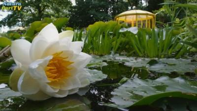 Seerose an einem Teich mit Pavillon