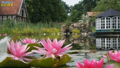 Rosa Seerosen in einem Teich
