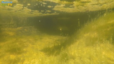 Unterwassersicht von stark veralgtem Teichwasser