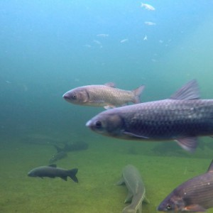 UNterwasseraufnahme von Fischen in klarem Teichwasser