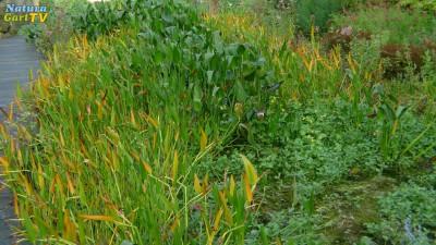 20170419-naturagart-teich-bewerten-teichpflanzen-im-filtergraben-gesundes-wachstum-id1058