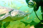 Taucher und Stör unter Wasser