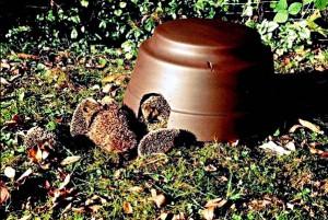 Wer auf einen Igel als Gast in seinem Garten hofft, erhöht seine Chancen, indem er dem stacheligen Wildtier hohle Baumstümpfe, dichtes Gebüsch, oder eine Igelkuppel als Herberge anbietet. Darin kann der Igel das ganze Jahr über wohnen. Damit sich Igel in einer solchen Behausung wohlfühlen, sollte sie vor Zugluft und Nässe geschützt sein und darf mit etwas Heu oder trockenem Laub ausgestattet sein. Der nachtaktive Gast revanchiert sich bei Ihnen mit dem Vertilgen von lästigen Schnecken.