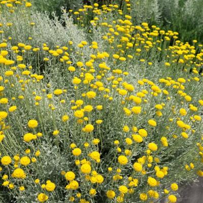 Die Heiligenblume (Santolina chamaecyparissus) ist eine Staude mit einem immergrünen Blatt und kugeligen Blüten, die von Juli bis August blühen. Sie steht einzeln oder in kleinen Gruppen von fünf bis zehn Pflanzen pro Quadratmeter.