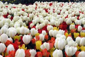 Blumenzwiebeln im Shop von NaturaGart: Sehr interessant sind die Sortiment-Mischungen für eine bunte Blütenpracht