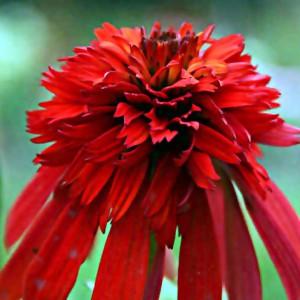 """Der rote, gefüllte Sonnenhut vom Typ """"Hot Papaya"""" blüht von Juli bis Spetember in einem intensiven Rot."""