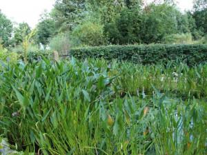 Am reichen Wuchs der Wasserpflanzen ist zu sehen, wie nährstoffreich das Wasser im Filterteich ist.