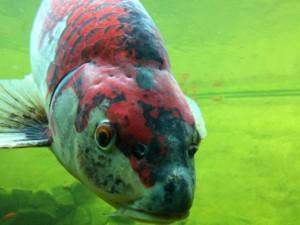 Ein Koi gehört zu den Paradefischen im Gartenteich. Im sauberen Wasser eines Teiches kommen seine Farben am besten zur Geltung.