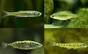 Für einen pflegeleichten Fischteich eignen sich einheimische Fische wie Moderlieschen, Gründling, Bitterling oder Stichling.