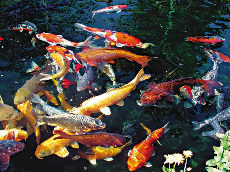 5 fischteiche in 10 varianten gartenteich planung bau for Welche fische in teich