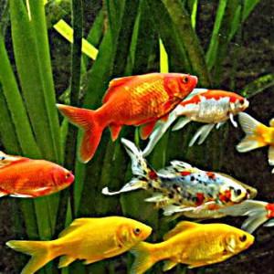Gesunde Fische im Fischteich