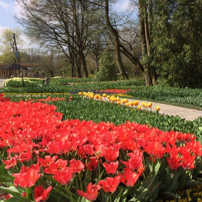 Ein Beet mit roten Tulpen
