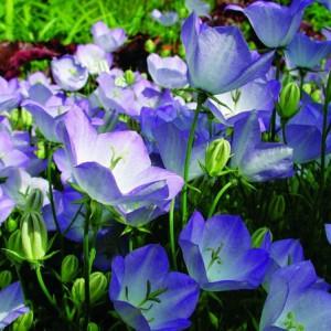 Sonnig: Karpaten-Glockenblumen bedecken den Boden