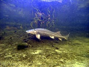 Großer Stör im Teich