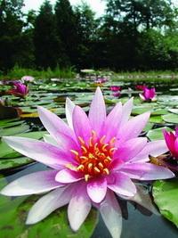 naturagart-seerosen-rosa