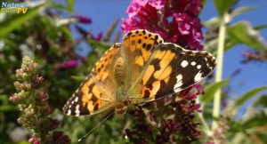 Mit einer insektenfreundlichen Auswahl an Pflanzen wird der Garten zu einer Oase für Insekten. Hier: der Distelfalter.