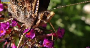 Mit seinem hochpräzisen Rüssen erreicht das Tagpfauenauge auch tieferliegenden Nektar aus Blütenkelchen.