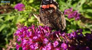 Immer größere Bestände des Sommerflieders im NaturaGart-Park sind eine reiche Nahrungsgrundlage für viele Insekten.