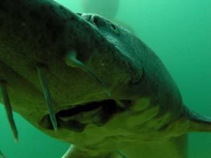 Der Stör ist ein spektakulärer Teichfisch