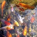 Mit zunehmender Anzahl der Fische und ihrer Größe steigt der Pflegebedarf am Teich
