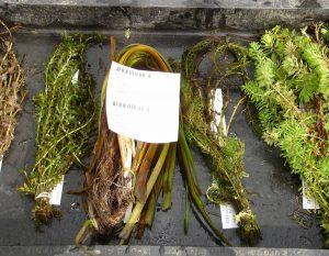 Die Teichpflanzen werden getrennt voneinander in wasserdichte Tüten gepackt.