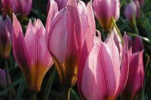 Pulchella-Tulpe von NaturaGart