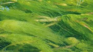 Algen im Teich können abgeschöpft werden - dazu gibt es unterschiedliche Methoden.