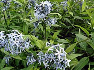 Amsonia tabernaemontana, oder Röhrenstern ist ein echter Blickfang mit wunderschönen Blüten im Juni und im Juli.