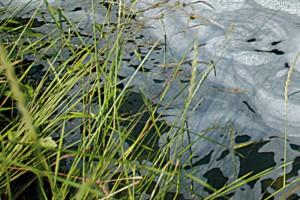 Nährstoffüberschüsse in Fischteichen sind zumeist der Grund für Teichschaum